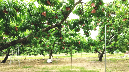 竹下農園の桃畑