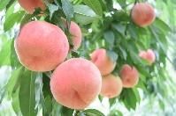 桃のイメージ2